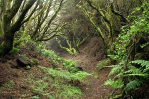 Urwald auf El Hierro